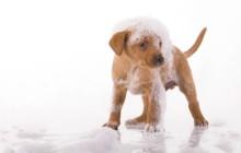 šamponiran pes